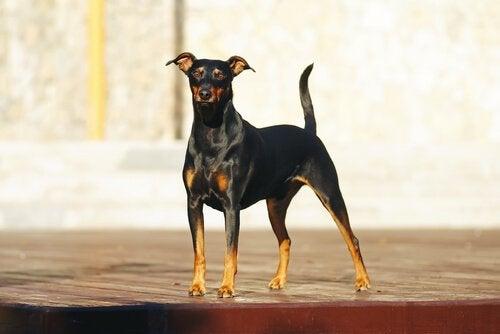 pinscher er en av flere tyske hunderaser