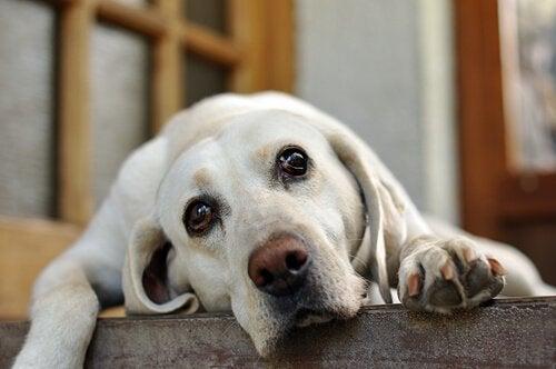 Hvorfor klynker hunden din når du drar?