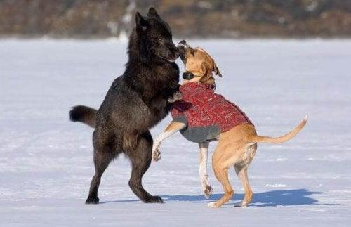 Venner for alltid: Ulven Romeo og hans hundevenn
