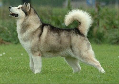 Hunderaser som ligner på ulver, deres forfedre