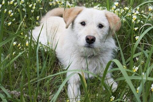 Hva er en hunds tredje øyelokk og hva gjør det?
