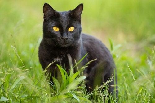 Bombaykatten: karakteristikker og omsorg