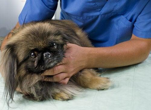 Hund hos veterinæren