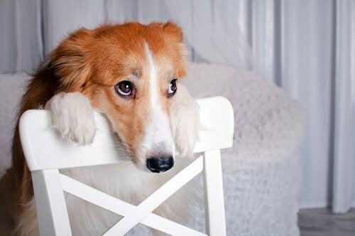 Hund med trist blikk og hodet hvilende på en stolrygg