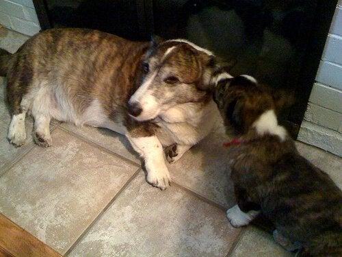 En eldre hund og en valp