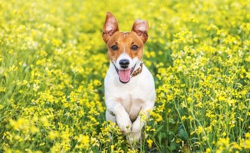 Hund løpende i blomstereng