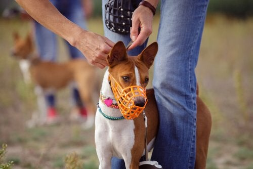 Liten hund med oransje munnkurv