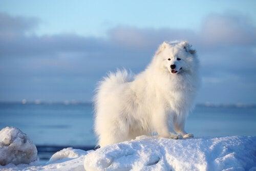Noen vanlige nordiske hunderaser
