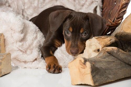 Hvordan kan du hjelpe en hund som sørger over tapet av et kjæledyr?