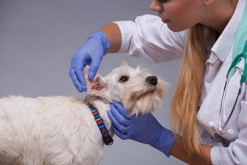veterinær sjekker ører til hund
