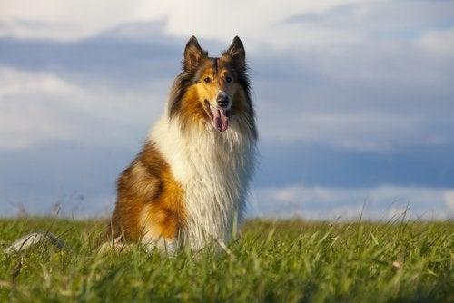 TV-hunden Lassie