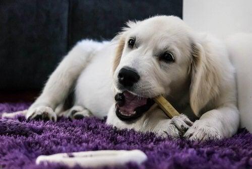 Hund tygger bein