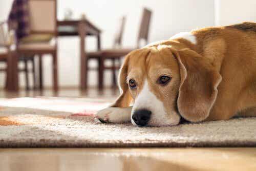 Hvor mye tid kan en hund tilbringe alene?