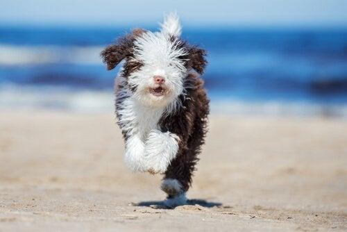 Lær hvordan du steller pelsen til vannhunder