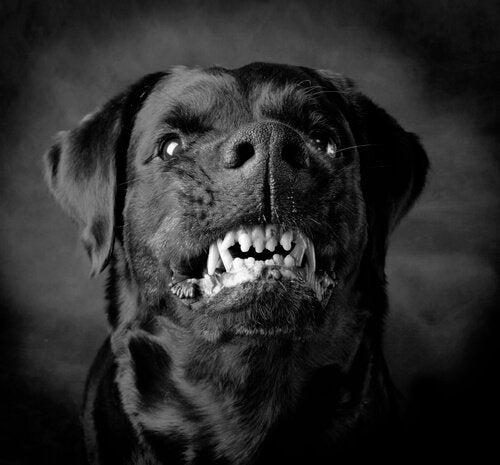 Voldelige hunder: Er det instinkt eller trening?