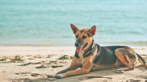 Hvorfor elsker hundene våre å sole seg?