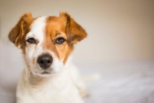 Hunder blir sjalu, det er ikke bare en menneskelig egenskap