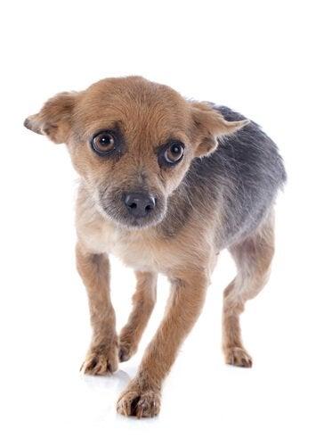 hund som er nervøs