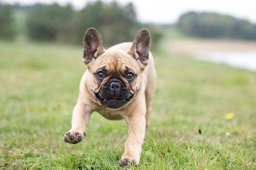 Fransk bulldog løper i gresset