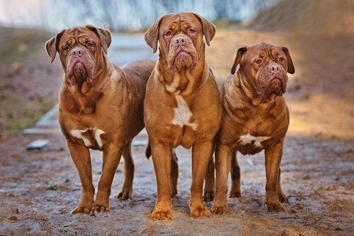 Tre franske mastiffer
