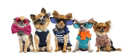 Chihuahaer har på seg klær og briller