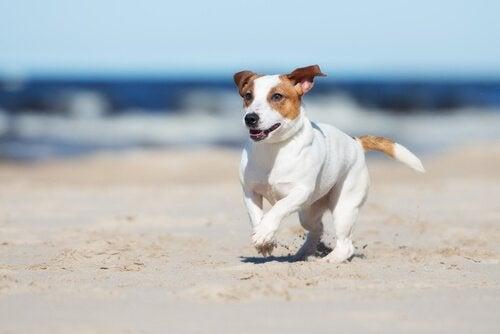 hund løper på stranden