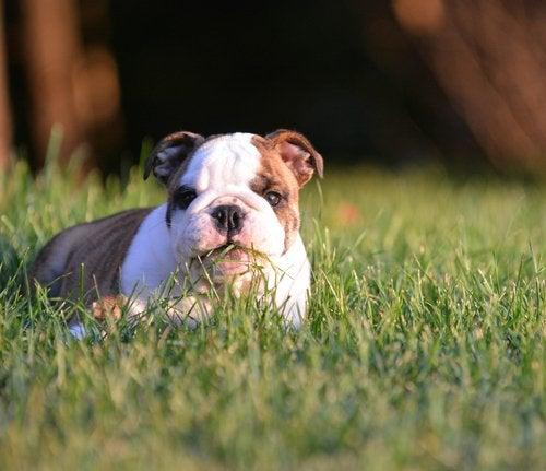 hund koser seg i gresset