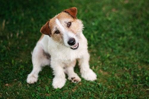 smilende hund