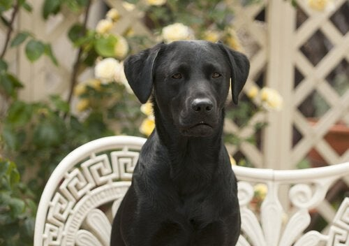 Svart Labrador sitter på en benk