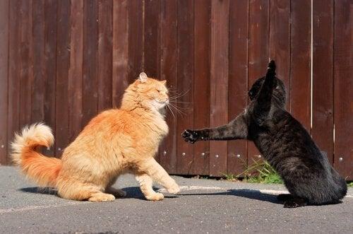 To katter slåss på gaten
