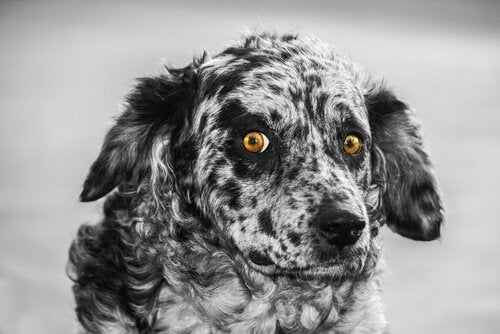 Carea Leonés – den spanske gjeterhunden