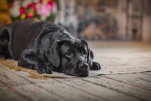 Hva bør du gjøre hvis hunden din har et uhell?