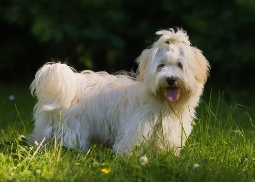 Bichon havanais: Cubas nasjonalhund og en flott familiehund
