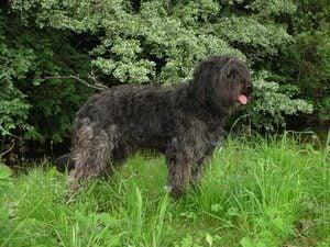 Katalansk gjeterhund står i gresset
