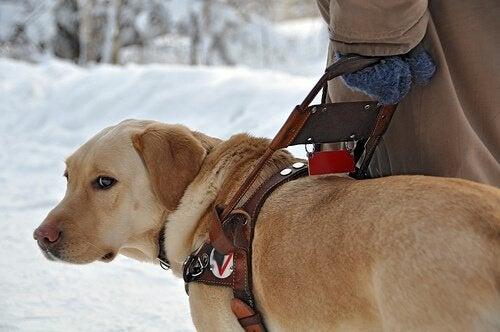 Førerhund på tur på vinteren