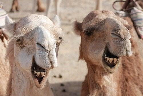 Forskjellene mellom kameler og dromedarer