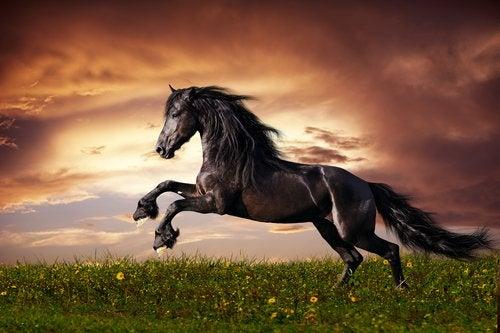 Svart hest