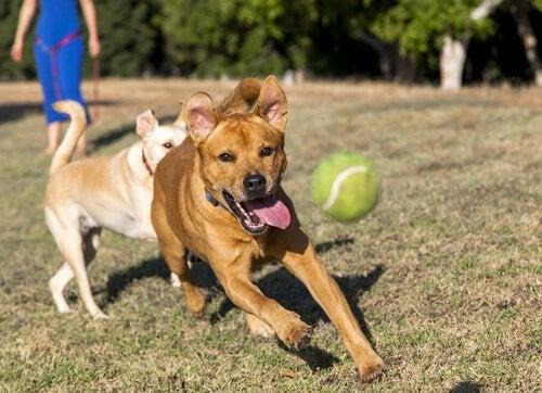 Hund leker med ball i gresset