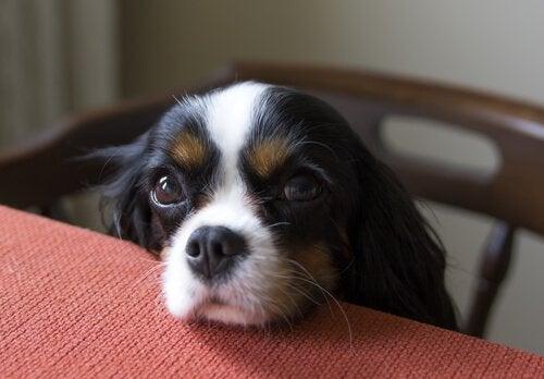 hunden tigger om mat ved bordet