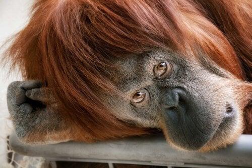 Sjimpanse slapper av