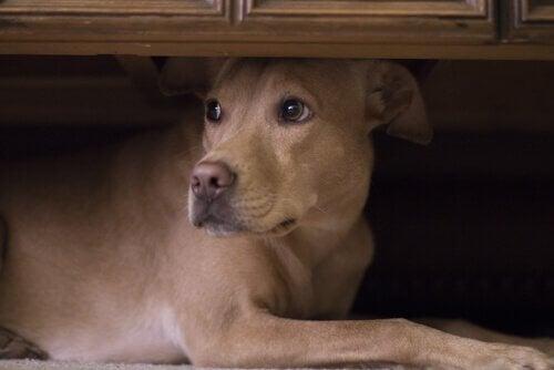 Blandingshund gjemmer seg under en seng