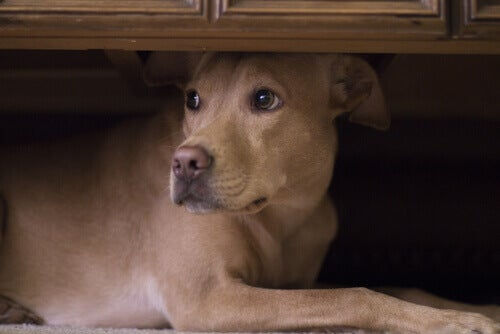 Blandingshund ligger under et skap