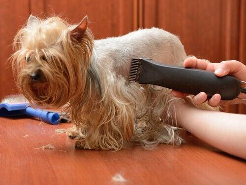 Klippe hundens hår med en elektrisk barbermaskin