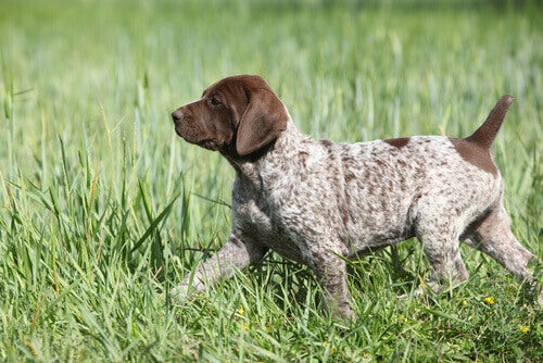 korthåret vorstehhundvalp