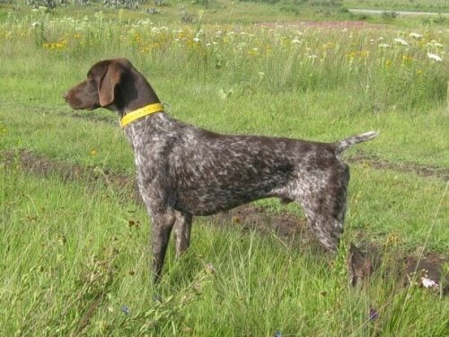 korthåret vorsthhund i felt