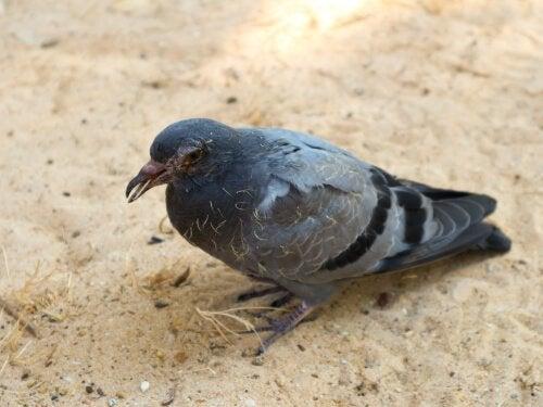 Vanlige sykdommer hos duer: Vi gir deg oversikten