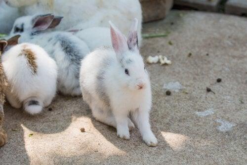 Kaniner som kjæledyr hjemme: hygieneråd