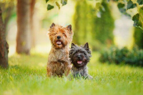 To hunder på gressplen.