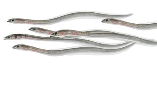 Fakta om åleyngel - En katadrom fiskeart