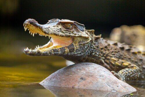 En alligator på en stein